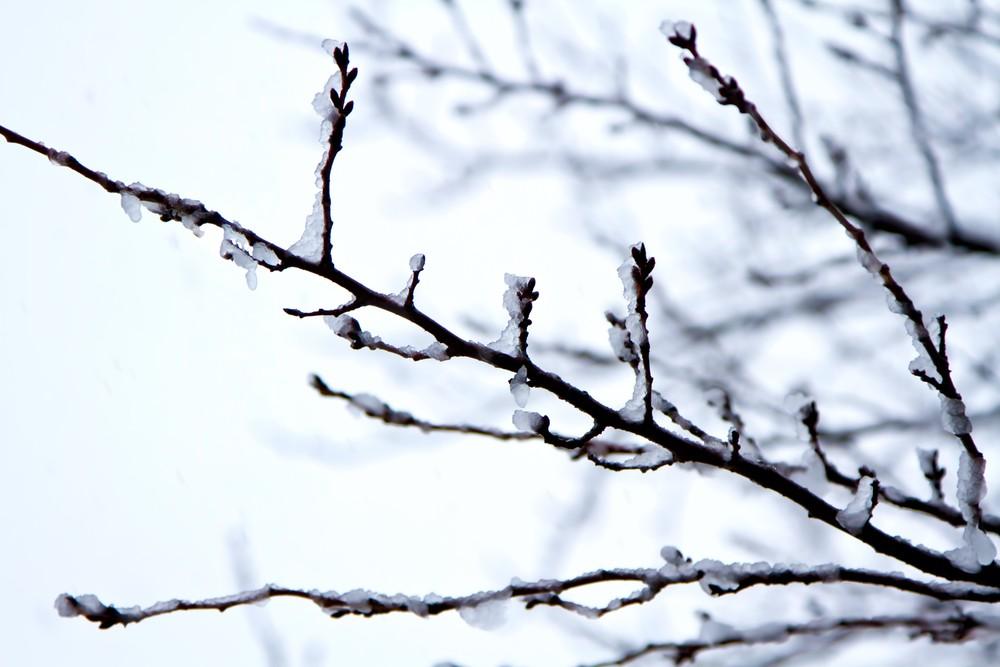 雪・つぼみ